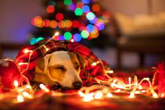 Sleeping Dog Under Christmas Tree Stock Photos