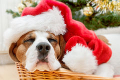 Sleeping dog weared to santa hat Stock Images