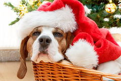 Sleeping dog weared to santa hat Royalty Free Stock Photos