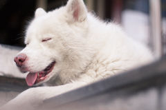 Sleeping Dog. White Husky need some rest Stock Images