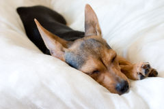 Sleeping doggy. Small doggy (russian toy terrier) sleeping on pillow Royalty Free Stock Images