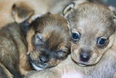 Sleeping dogs. Two little sleeping dog puppies stock photography
