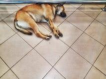 Sleeping dogs. Dog Tiled floor stock photography