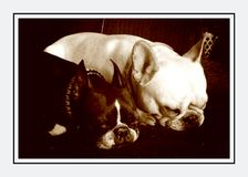 Sleeping dogs. Sleeping French bulldog an Boston terrier Stock Photography