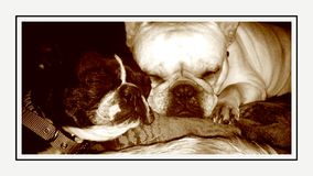Sleeping dogs. Sleeping French bulldog an Boston terrier Royalty Free Stock Photography