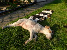 Sleeping dogs set. Mother dog with puppies sleeping Royalty Free Stock Images