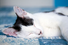 Sleeping domestic cat Royalty Free Stock Photo