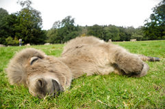 Sleeping Donkey Stock Image