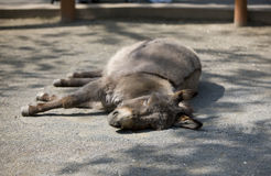 Sleeping donkey. Image of sleeping donkey on sunny day royalty free stock photos