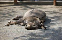 Sleeping donkey Royalty Free Stock Photos