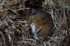 Sleeping dormouse. Hibernating dormouse in a tiny nest Royalty Free Stock Photography