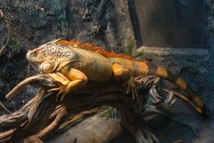 Sleeping dragon - Close-up portrait of a resting orange colored male Green iguana I Royalty Free Stock Photography