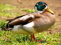Sleeping Duck Royalty Free Stock Photos