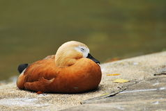 Sleeping Duck Stock Image