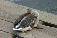 Sleeping Duck. Having a Poo stock images
