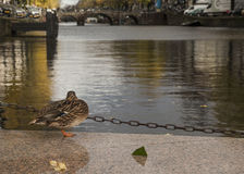 A sleeping duck by a canal, Amsterdam. Royalty Free Stock Photos