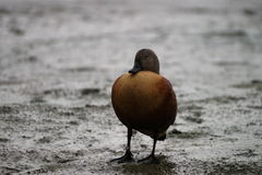Sleeping duck in the mud. Stock Photos