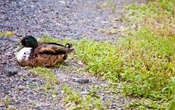 Sleeping Duck Royalty Free Stock Image