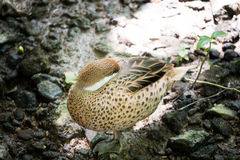 Sleeping duck Royalty Free Stock Images