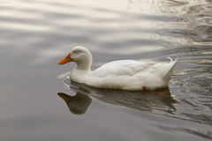 Sleeping Duck Swimming Stock Images