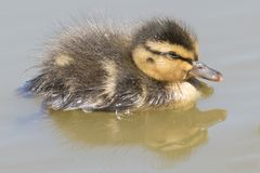 A sleeping duckling on the Ornamental Pond royalty free stock images