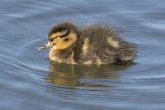 Sleeping duckling at Southampton Common royalty free stock photo