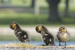 Sleeping ducklings royalty free stock images