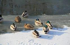 Sleeping ducks on frozen river Royalty Free Stock Photo