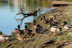 Sleeping ducks Royalty Free Stock Images