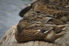 Sleeping ducks on a log stock photo