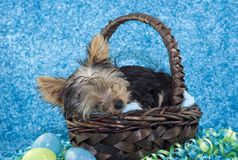 Sleeping Easter Puppy Stock Photography