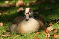 Sleeping Egyptian goose Royalty Free Stock Photos