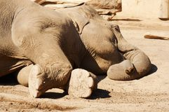 Sleeping elephant royalty free stock images