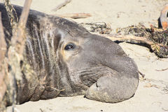 Sleeping elephant seal. Elephant seal relaxing on the beach of California Royalty Free Stock Photography
