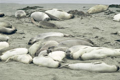 Sleeping Elephant Seal Colony On A Seashore Royalty Free Stock Photography
