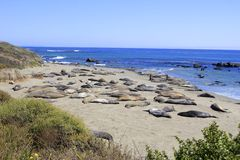 Sleeping Elephant Seals Royalty Free Stock Photography