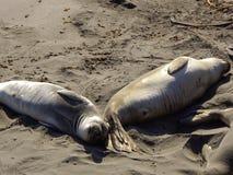 Sleeping Elephant Seals Head to Tail Stock Photography