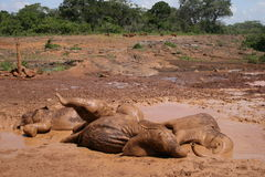 Sleeping Elephants. A herd of baby elephants cooling down in a mud pool Stock Photo