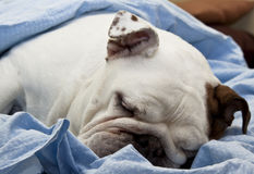 Sleeping English Bulldog Royalty Free Stock Image