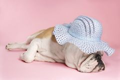 Sleeping English Bulldog. Royalty Free Stock Images