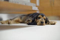 Sleeping English Cocker Spaniel Stock Photo