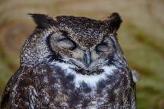 Sleeping Eurasian Eagle Owl. A Sleeping Eurasian Eagle Owl with a white bib royalty free stock photo