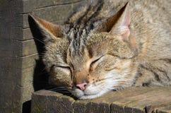 Sleeping farm cat Royalty Free Stock Photo