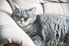 Sleeping a fat British cat on the couch Royalty Free Stock Photos