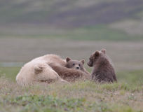 Sleeping female adult grizzly with cubs Stock Images