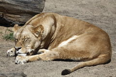 Sleeping female lion Royalty Free Stock Images