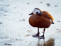 Sleeping Female South African Shelduck on Ice Stock Photography