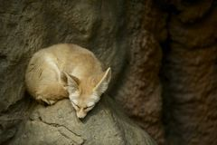 Sleeping Fennec Fox Royalty Free Stock Photos