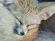 A sleeping Fennec Fox stock image