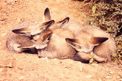Sleeping Fennec foxes. Desert fox. Stock Photos